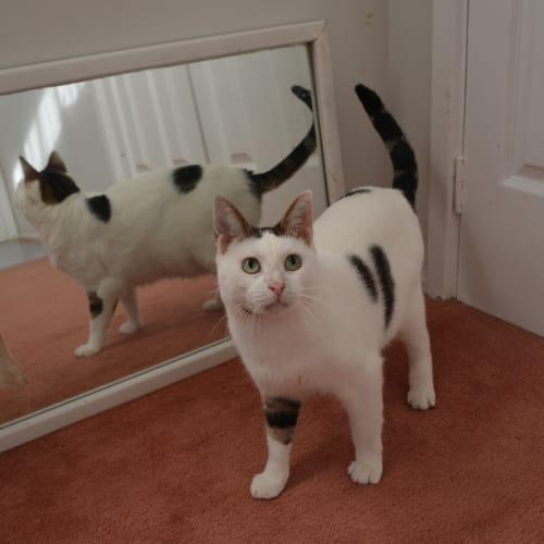 Pickles - Domestic Short Hair Cat