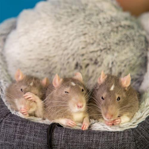Finn - Rat Rodent
