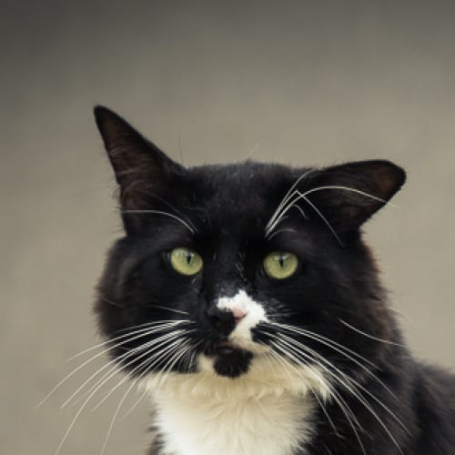 Sylvestor (Located in Brighton East) - Domestic Long Hair Cat