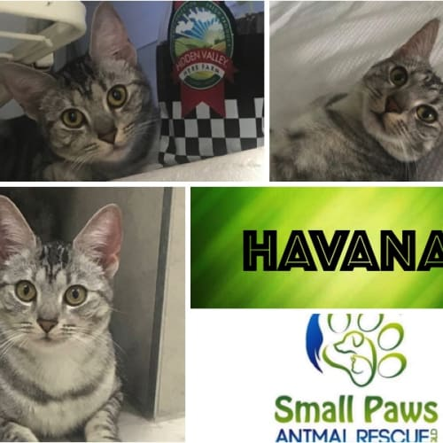 Havana - Domestic Short Hair Cat