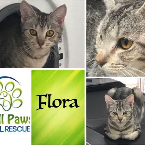 Flora - Domestic Short Hair Cat