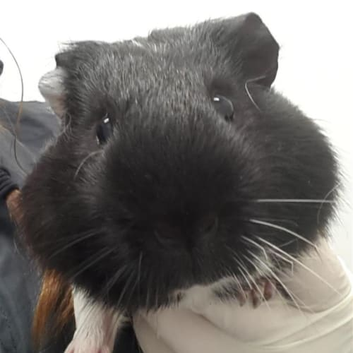 Gary - Smooth Hair Guinea Pig
