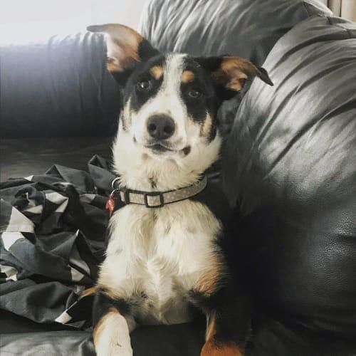 Socks - Kelpie Dog