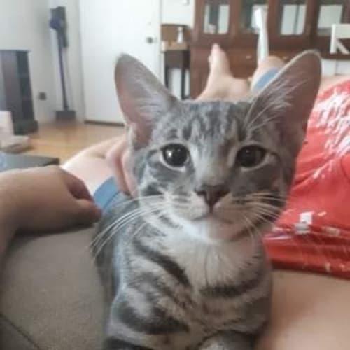 Maui - Domestic Short Hair Cat