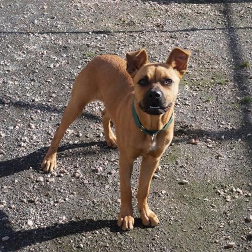 Sunny - American Bulldog x German Shepherd Dog