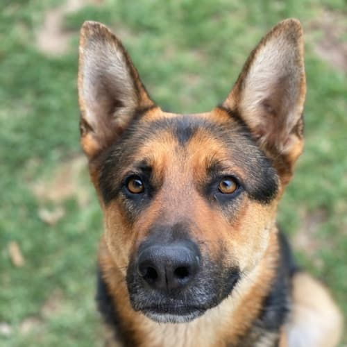 Axle - German Shepherd Dog