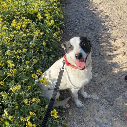 Dee - Border Collie Dog