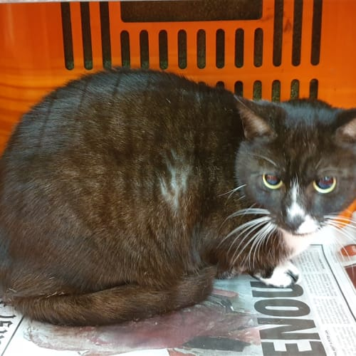Jia - Domestic Short Hair Cat