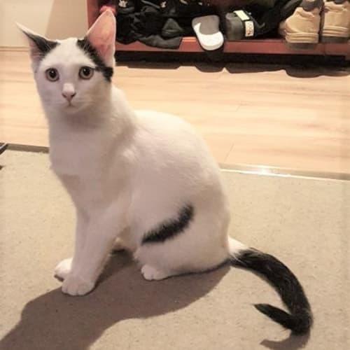 3210 - Joey - Domestic Short Hair Cat