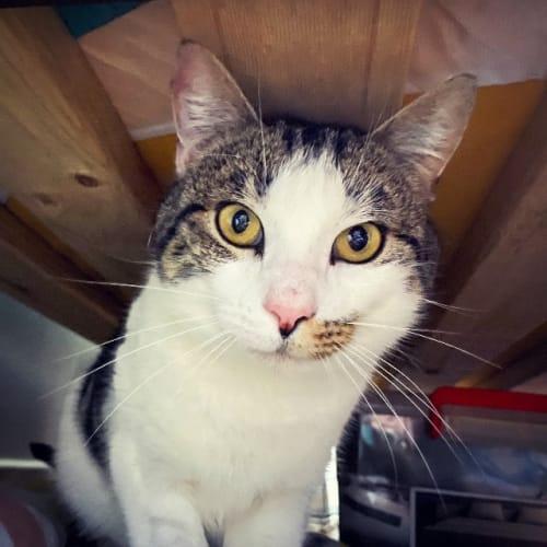 Frodo - Domestic Short Hair Cat