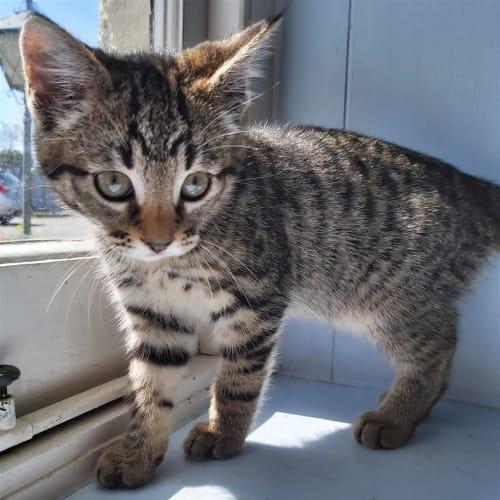 Wes - Domestic Short Hair Cat