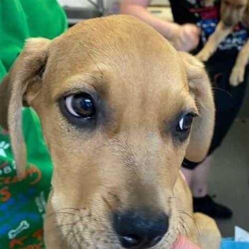 Alto - Bullmastiff x Irish Wolfhound Dog