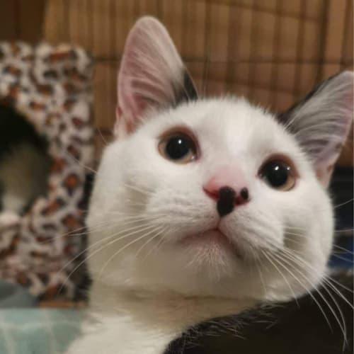 Samsom - Domestic Short Hair Cat