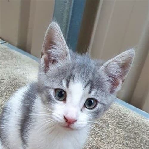 Nancy - Domestic Medium Hair Cat
