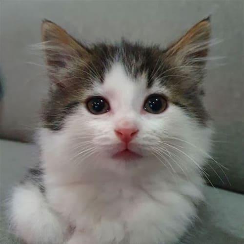 Husky - Domestic Medium Hair Cat