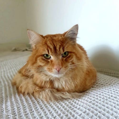 3705 – Pumba - Domestic Medium Hair Cat