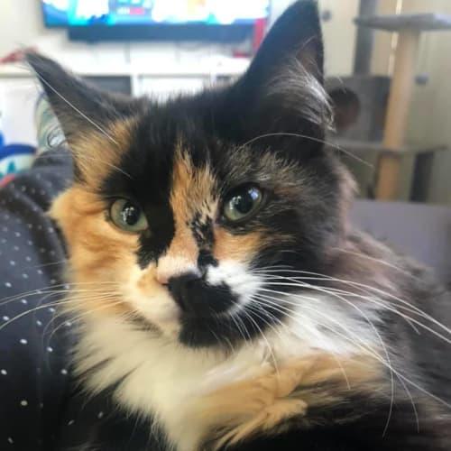 Gracie - Domestic Long Hair Cat