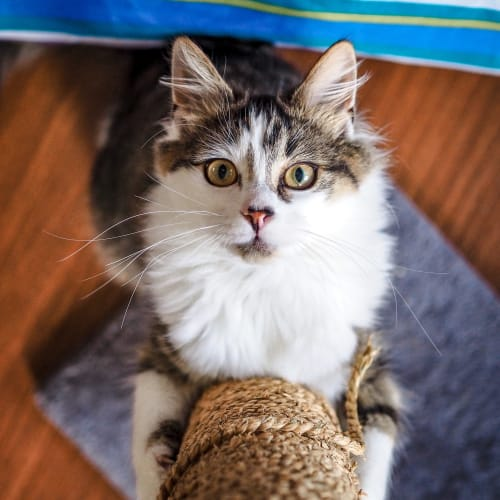 Delilah ~ 7 month old kitten - Domestic Medium Hair Cat