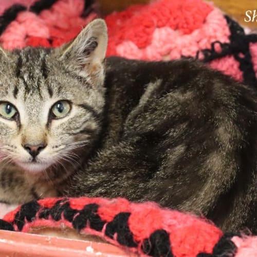 Sherbert - Domestic Short Hair Cat