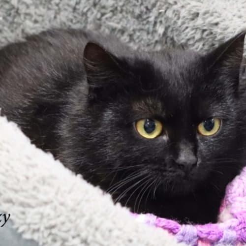 Razzy - Domestic Short Hair Cat