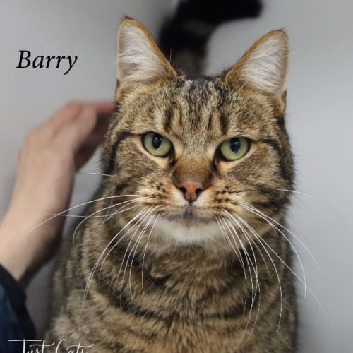 Barry - Domestic Short Hair Cat