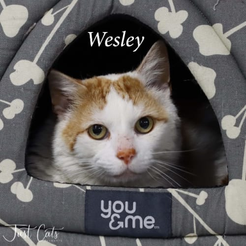 Wesley - Domestic Short Hair Cat