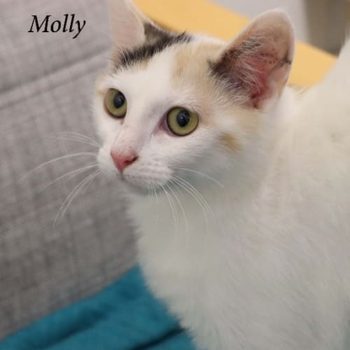 Molly - Domestic Short Hair Cat