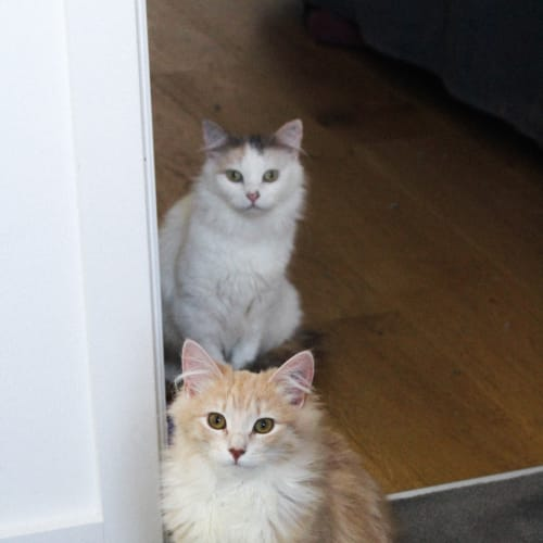 Estelle and Billy - Located in Preston - Domestic Medium Hair Cat