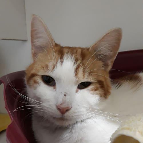 Shmukkles - Domestic Short Hair Cat