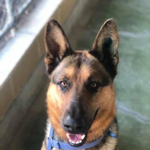Drogo - German Shepherd Dog