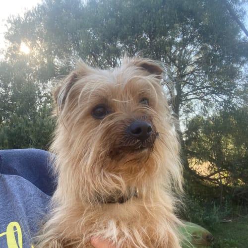 Louis - Australian terrier x Silky Terrier Dog
