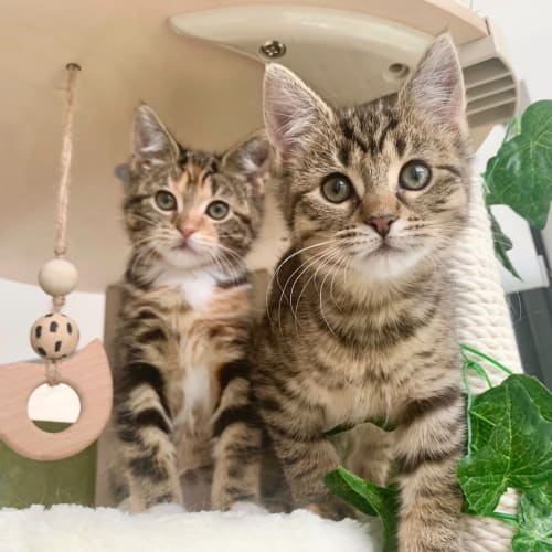 Arrietty and Marnie - Domestic Short Hair Cat