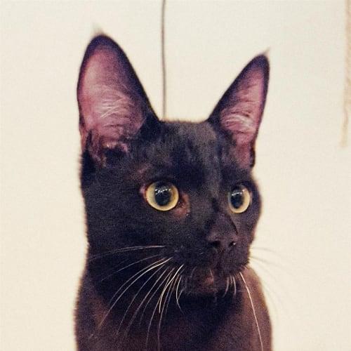 Bumble - Domestic Short Hair Cat