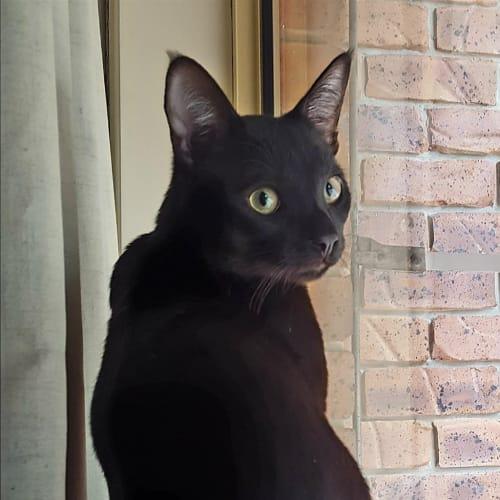 Blaze - Domestic Short Hair Cat