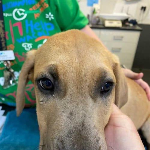 Banjo - Bullmastiff x Irish Wolfhound Dog