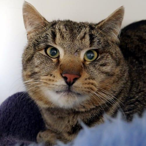 Munchkin SUA005533 - Domestic Short Hair Cat