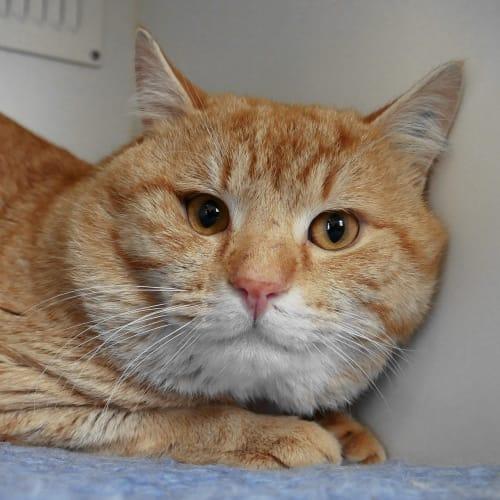 Jeffrey SUA005535 - Domestic Short Hair Cat
