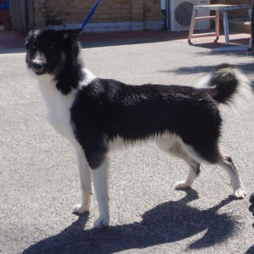 Brooks - Border Collie Dog