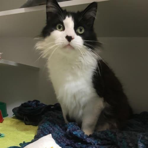 Toby - Domestic Medium Hair Cat