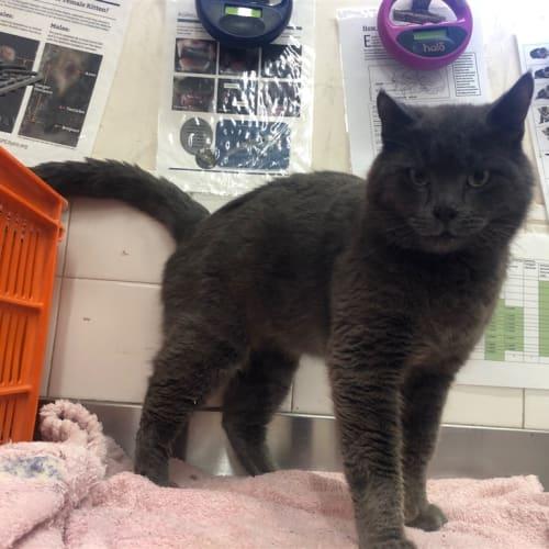 Dimitri - Domestic Short Hair Cat