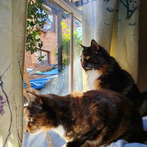 Dusty and Lola - Domestic Short Hair Cat