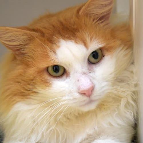 Victor - Domestic Medium Hair Cat