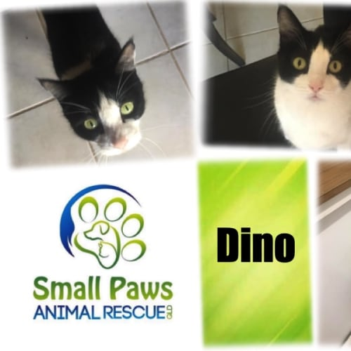 Dino - Domestic Short Hair Cat