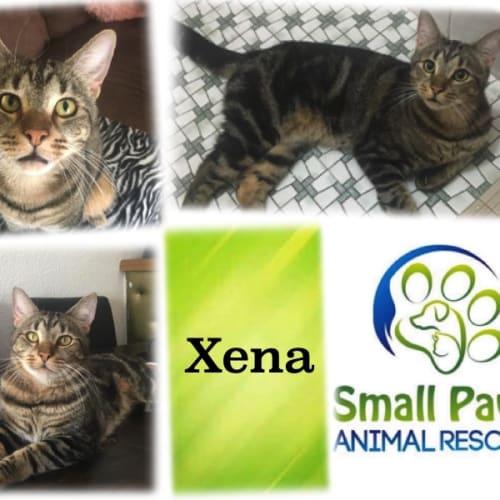 Xena - Domestic Short Hair Cat