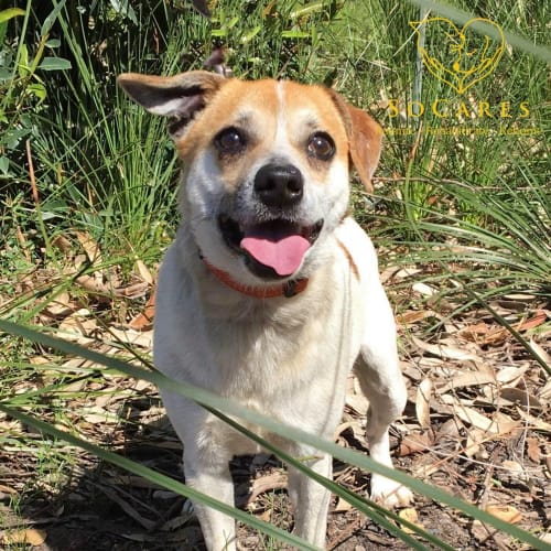 Jacko - Jack Russell Terrier Dog