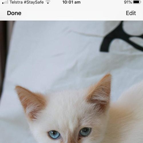 Parker - Siamese Cat