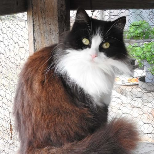 Oreo - Domestic Medium Hair Cat