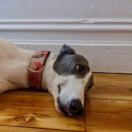 Skye - Greyhound Dog