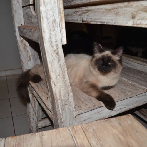 Lulu - Ragdoll x Siamese Cat