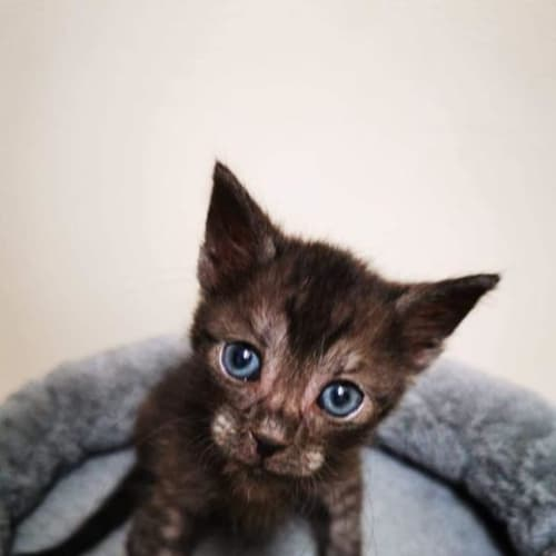Everest - Domestic Short Hair Cat